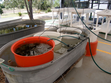 Mesocosm experiment: Corals were exposed to different treatments such as macroalgae mats, artificial shading, macroalgae incubated water, and regular seawater