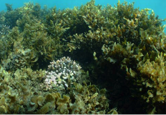 Canopy-forming macroalgae assemblage, dominated by Sargassum sp., Dunk Island, Great Barrier Reef.